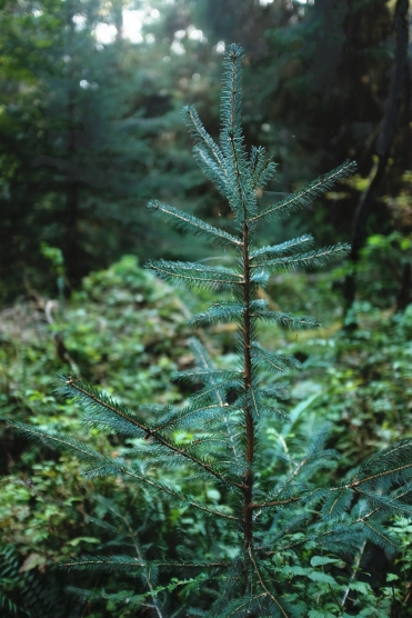 christmas nature photography of a tiny fir tree in the forest